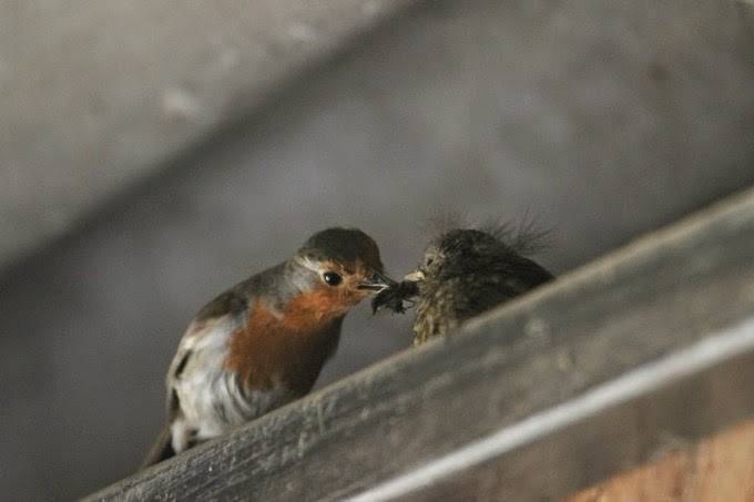 robin and baby sounds of spring