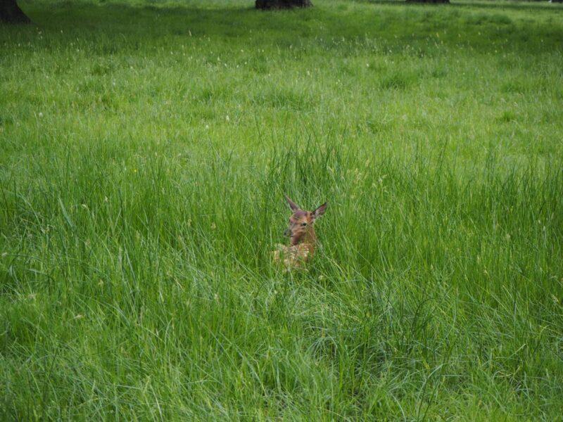 Baby deer in Woburn Abbey and Garden's Deer Park