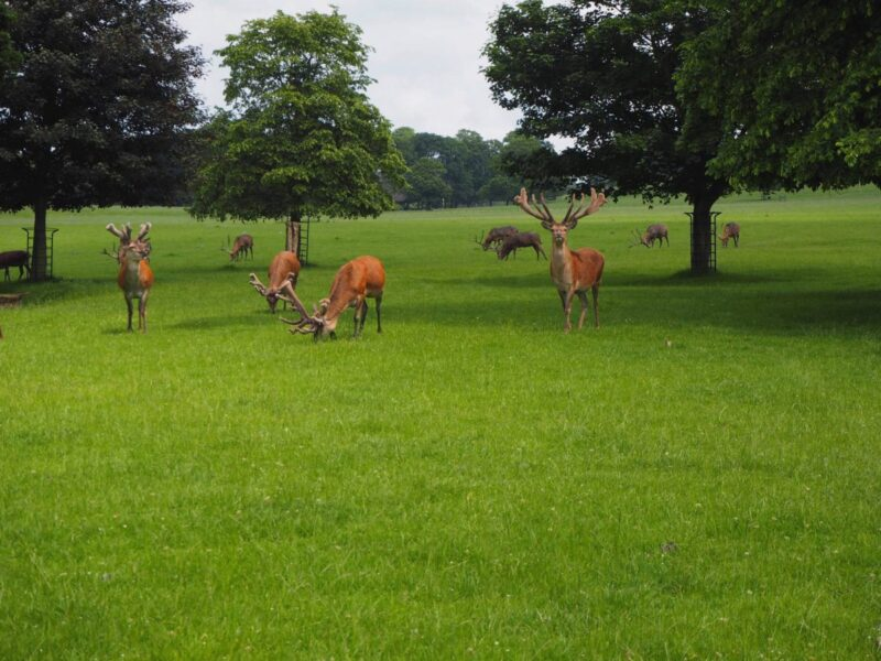 Driving through the deer park at Woburn Abbey